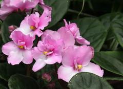 3-IMG_4765 (hemingwayfoto) Tags: berggartenhannover blhen blte blume flora floristik natur topfpflanze usambara usambaraveilchencitylinetrendymix veilchen zierpflanze zuchtform
