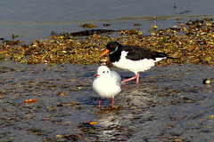 Oyster Catcher and a Black Headed Gull (Hythe Eye) Tags: hythe hampshire southamptonwater winter oystercatcher blackheadedgull