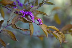 More purple berries (KsCattails) Tags: autumn berries berry depthoffield dreamy kscattails nature overlandparkarboretum plant purple shrub soft