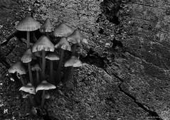 Mycena emanating from a fallen tree (favmark1) Tags: mycena bw fungus mushroom toadstool kent