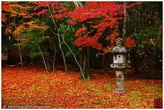 Carpet of red maple leaves on Koto-in moss garden, Kyoto (Damien Douxchamps) Tags: japan  japon kansai  kinki  kyoto   northern north  daitokuji templecomplex temple     koutouin kotoin  zengarden   subtemple  tatchu ochiba moss  momiji autumncolours mapletree fallfoliage   stonelantern  japanesegarden