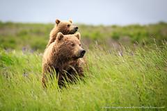 Piggyback (David Swindler (ActionPhotoTours.com)) Tags: alaska alarmed bear wildlife bears piggyback mcneil cub sow