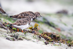 Ruddy Turnstone - Arenaria interpres (L.Mikonranta) Tags: areint arenaria interpres karikukko ruddy turnstone cornwall uk