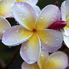 happy easter/passover/day/evening!!!!! (_aires_) Tags: macro photoshop canon droplets drops plumeria bokeh aires 100mm gotas frangipani suche limaperu drybrushfilter 50d ires canonef100mmf28macrousm canoneos50d canon50d