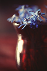 something blue, something red... (Morningdew Photography) Tags: flowers blue red white toronto ontario canada black flower macro glass closeup bluebells canon spring flora purple bokeh vase bluebell alienskin exposure4 morningdewphotography t1i ef100l TGAM:photodesk=spring2012