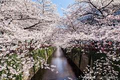 Meguro River / Tokyo, Japan (yameme) Tags: travel flowers nature japan canon eos tokyo  sakura shinagawa cherryblossoms    meguro    24105mmlis  5dmarkii 5d2