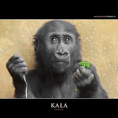 KALA (Matthias Besant) Tags: animal animals mammal deutschland monkey tiere hessen gorilla ape monkeys mammals apes fell tier affen primates silverback affe primat silberruecken hominidae primaten querformat saeugetier saeugetiere menschenaffen hominoidea trockennasenaffe menschenartige blinkagain affenfell menschenartig affenblick matthiasbesantphotography matthiasbesant