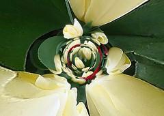 tulpen, digitaal bewerkt / tulips, digital edited (dietmut) Tags: tulips nederland thenetherlands manipulations visualart 2012 tulpen zuidholland mycreations digitalfun artweaver meimay digitaalbewerkt digitaledited dietmut manipulaties