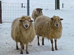 The ladies posing very patiently ..... (Fijgje On/Off) Tags: winter snow fence sheep sneeuw ladys hek schapen dames ewes ooien fijgje jan2013 panasonicdmctz30