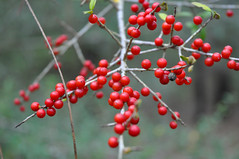 Yaupon Holly (Ilex vomitoria) (fisherbray) Tags: usa berry nikon unitedstates florida holly airforce usaf eglin eglinafb yaupon yauponholly okaloosacounty ilexvomitoria d5000 fisherbray eglinrangecomplex
