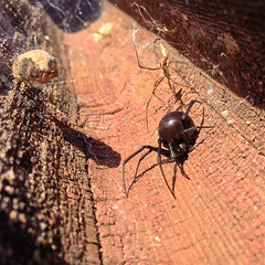 black widow and mate (misterbisson) Tags: spider spiders spiderweb blackwidow arachnids