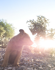 Brown Bear, Sunset Flare (Immature Animals) Tags: dog puppy lens bright center pima bark lensflare chow flare pup care pacc barktucson backpacc