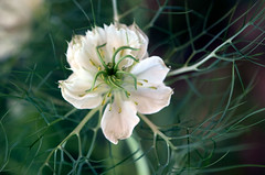 The web of Nigella damascena (Pensive glance) Tags: plant flower nature fleur plante nigelladamascena nigeldedamas
