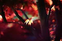 (MINA) Tags: light red sunlight tree leaves canon season eos 50mm spring bokeh 14 60d
