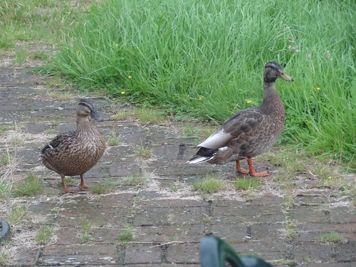 Ducks, on brick patio in my home garden