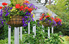 Hanging flower baskets (Perl Photography) Tags: park flowers nature floral yard garden botanical petals flora colorful gardening vibrant blossoms patio blooms planter petunias blooming flowerbasket summergarden