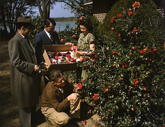 Picking camellias (State Library and Archives of Florida) Tags: flowers trees plants water fashion outdoors florida 1940s camellias statelibraryandarchivesofflorida josephjanneysteinmetzcollection