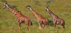 Set of 3 (Gary Simmons) Tags: africa tanzania photo tour safari giraffe