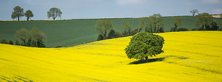 Canola field, Meon Valley, Hampshire