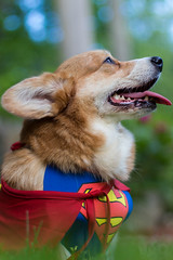 Barkday Party (iM4i2Ci) Tags: party dog cute dogs smile happy costume corgi bokeh shihtzu superman terrier hero superhero supergirl shibainu welshcorgi costumeparty krypto superdog corgis heropose dogparty derp parsonrussellterrier pupcake cuteoverload supercorgi