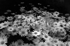 untitled (Noisy Paradise) Tags: bw flower monochrome japan tokyo bokeh sigma explore dp  cosmos merrill foveon    sigmadp2merrill