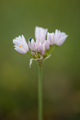 Allium roseum (macropoulos) Tags: topf50 500v20f 500v50f garlic wildflower allium gettyimages rosy amaryllidaceae canoneos5d 1500v60f 1000v40f canonef100mmf28macrousm roseum asparagales allioideae gettyimages:date_added=20130703