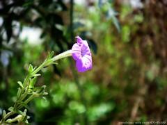 Beautiful ! (yusu falaa1) Tags: flowers macro home nature photography shots capturedmoments streamzoo