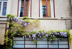 wisteria (ekelly80) Tags: flowers windows brussels spring purple belgium lilacs flowerbox may2013 brusselsinspring