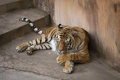 Big Kitty Cat (pasa379) Tags: zoosofnorthamerica