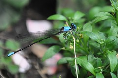 damsel in blue (christiaan_25) Tags: blue bug garden insect wings july photoaday perched damselfly odonata zygoptera redwhiteorblue fmsphotoaday