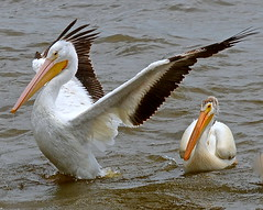 I'm the boss! White Pelicans Lock and Dam 14 Iowa-Ill (Meridith112) Tags: bird pelicans birds river mississippi illinois nikon birding pelican iowa il mississippiriver quadcities americanwhitepelican pelecanus pelecanuserythrorhynchos leclaire nikon70300 lockanddam14 nikond7000 pelicansarebullies