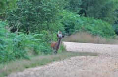 Red calf (Wildlife Online) Tags: red deer calf newforest reddeer cervuselaphus cervid reddeercalf marcbaldwin wildlifeonline