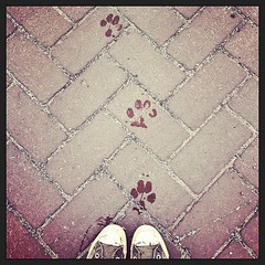 I'll follow in your paw steps (htekmo) Tags: dog square squareformat pawprints swissy burton amaro iphoneography instagramapp uploaded:by=instagram