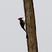 """Lineated Woodpecker (Dryocopus lineatus) ~ Female • <a style=""""font-size:0.8em;"""" href=""""http://www.flickr.com/photos/101688182@N03/9772423306/"""" target=""""_blank"""">View on Flickr</a>"""