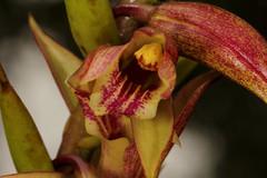 37 Dilochia wallichii - De Plateau Lodge, Bario 2011-11-10 06 (JVinOZ) Tags: orchid sarawak borneo bario orchidspecies