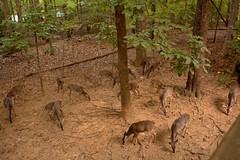 Breakfast for 26 (2) (tommaync) Tags: animal nikon october eating wildlife deer whitetail chathamcounty d40 2013