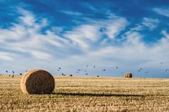 Freedom (emiliokuffer) Tags: field birds countryside day cloudy wheat straw pajaros campo roll paja trigo rollo rollosdepaja rollofstraw