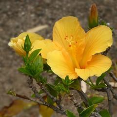 Hibiscus (Linda DV) Tags: flower nature geotagged lumix spain panasonic hibiscus tenerife malvaceae canaryislands islascanarias 2015 geomapped lindadevolder