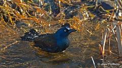 DSC_6654 (André DesRosiers) Tags: canada bird animal quebec québec extérieur oiseau domainemaizerets