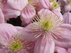 A sea of pink (Landanna) Tags: pink flower blomst roze bloem lyserd