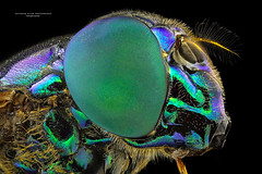 Mosca-varejeira (Jefferson Allan - Photographer) Tags: macro ngc focusstacking fotografocampinas empilhamentodefoco jeffersonallan macrojeffersonallan