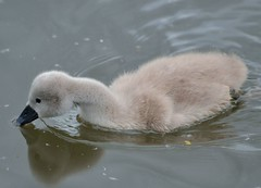 2015 05 25 266 KA Canal (Mark Baker.) Tags: uk family england west bird english nature birds canal photo spring swan europe european baker britain 10 mark wildlife united great young cygnet may kingdom swans photograph ten gb british chicks berkshire kennetandavon avon mute newbury cygnets offspring kennet hatchlings 2015 picsmark