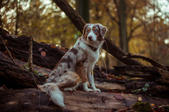 Yuma (arkaniyuma) Tags: wood light dog pet tree backlight forest bokeh shepherd australian aussie