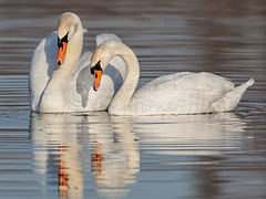Mute Swans (Jerry Fornarotto) Tags: blue wild white bird nature water beautiful animal swan pond couple outdoor wildlife pair wing mating material waterfowl graceful avian courting elegance muteswan plumage courtship canon600mm orthithology canon1dx jerryfornarotto