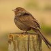 brown sparrow at point buchon trail - probably california towhee after comments
