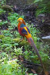 Golden Pheasant, Tangjiahe Nature Reserve, Sichuan, China (jmhullot) Tags: china golden pheasant sichuan sichuansheng tangjiahenationalnaturereserve guangyuanshi