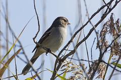 White-crowned_Sparrow_2543ak (Grandpa577) Tags: zonotrichiaalbicollis whitethroatedsparrow