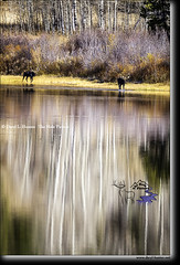 Lakeside Moose, aspen reflection (Daryl L. Hunter - Hole Picture Photo Safaris) Tags: autumn bullmoose daryllhunter twooceanlake aspens grandtetonnationalpark jacksonhole reflection wildlife wyoming unitedstates usa
