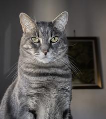 Gibson (krilu13) Tags: cat cats gatto gatti animali felini