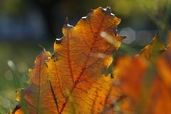 HMM edge sunbathing (margycrane) Tags: leaf li autumn jesie macro hmmedge macromondays edge